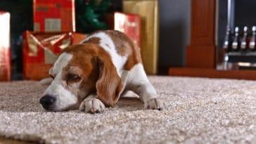 Ako dostať z koberca psie chlpy